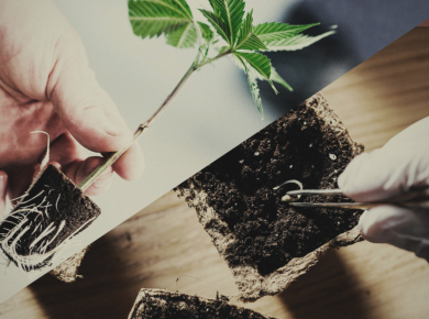 Different methods of growing cannabis
